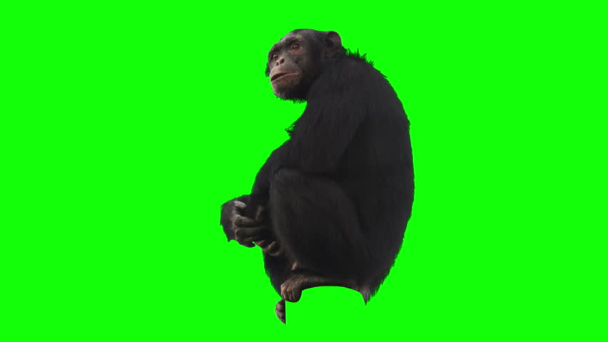 Monkey on green screen looking around. Alpha channel included. Shot with 4k red camera.  #3089443