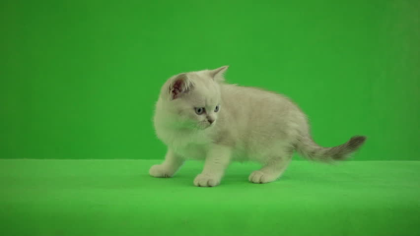 Funny British kitten walking on green background | Shutterstock HD Video #30960928