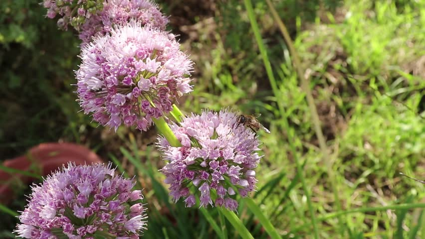 Header of Allium nutans