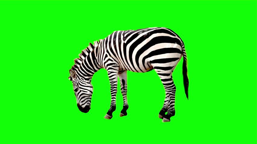 Zebra chroma key | Shutterstock HD Video #3214525