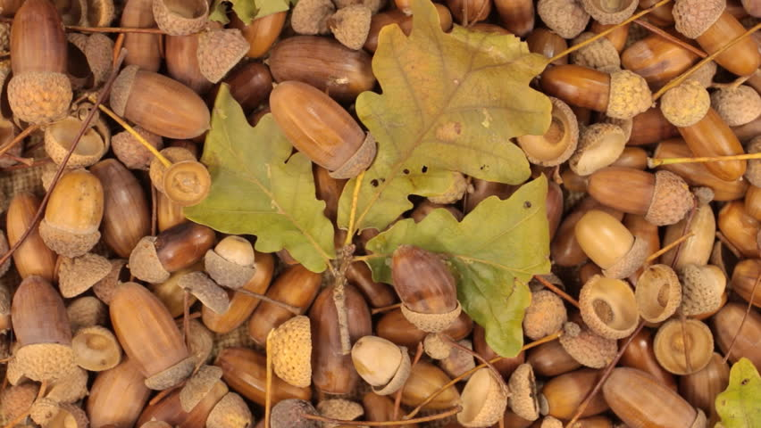 Rotation of acorns and stem with leaves.