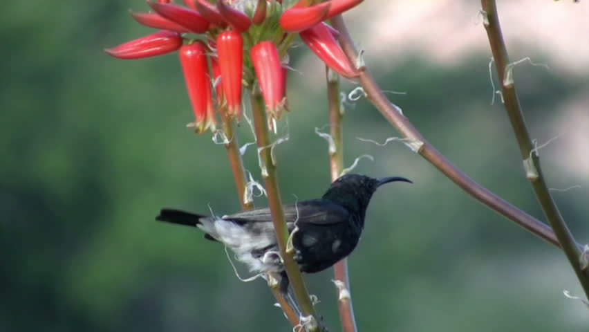 Header of Plain-Backed Sunbird