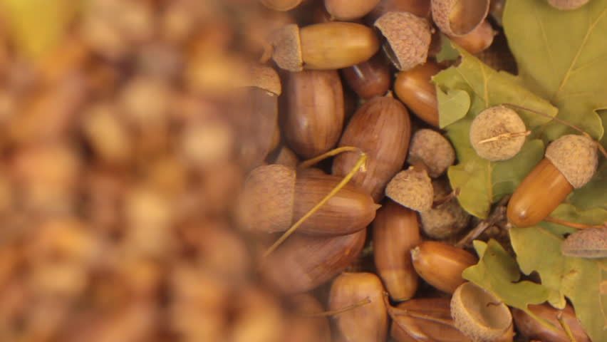 Study with a magnifying glass, rotating background made from acorns. Leaf and acorn.