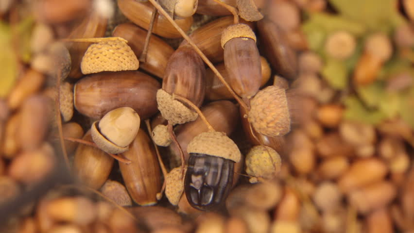 Study with a magnifying glass, rotating background made from acorns. Black acorn.