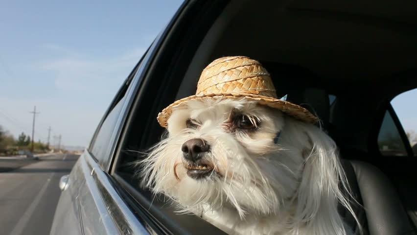 White dog wearing straw hat sticks head out car window, enjoys car ride.