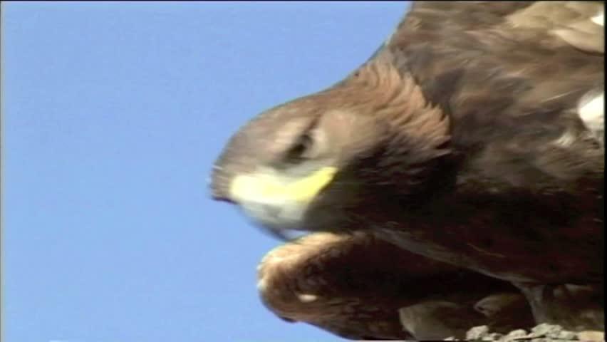 Header of golden eagle