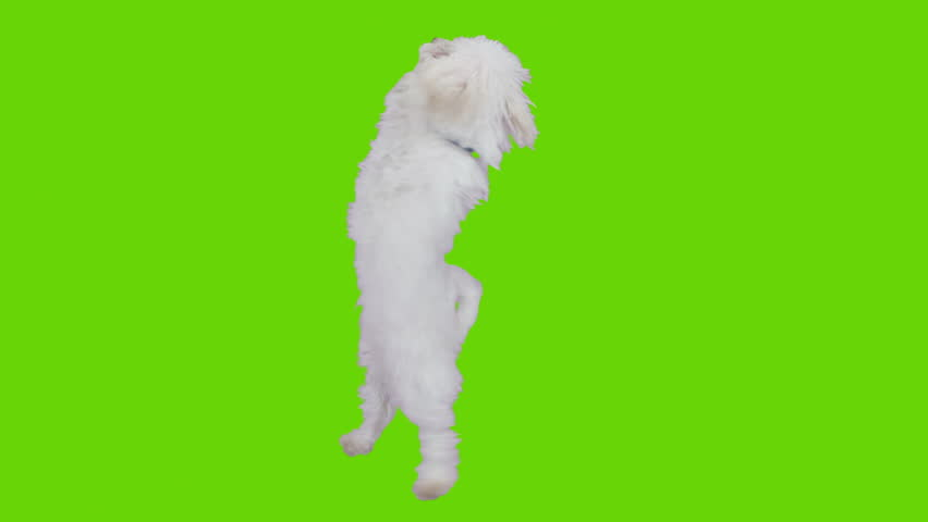 Dancing and jumping excited cute dog. Shot with red camera. Green screen ready to be keyed.  #3605078