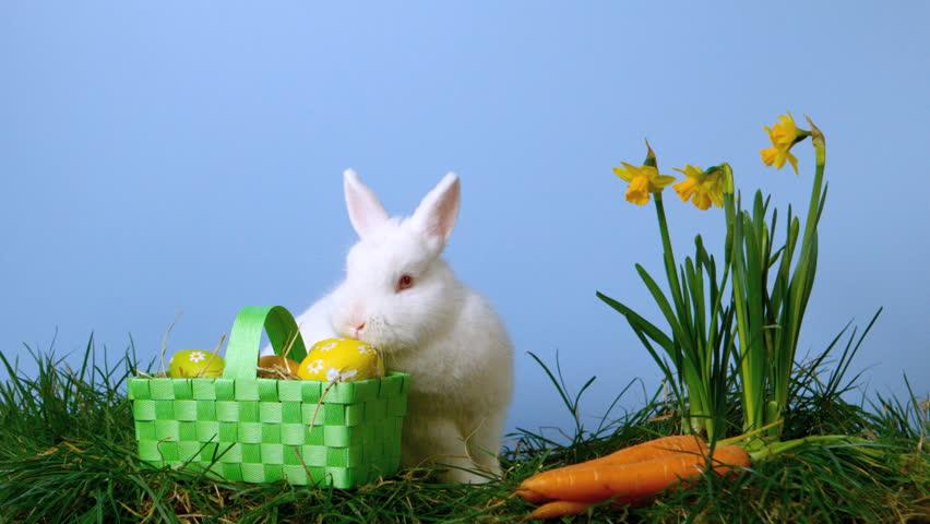 bunny rabbit sniffing around - photo #14