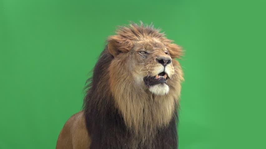 Slow Motion of a Lion roaring in front of a green key | Shutterstock Video #3811646
