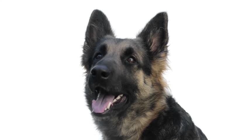 German Shepherd looking around and yawning   Shutterstock HD Video #3811664