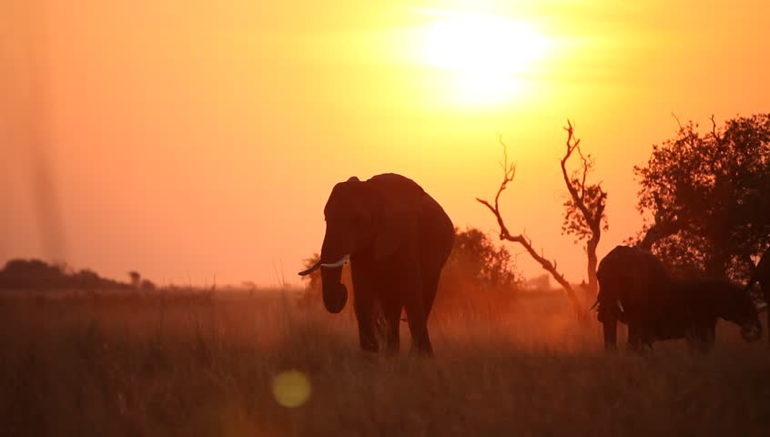 A pan shot of a herd of elephant  eating in the silhouetted sunset.