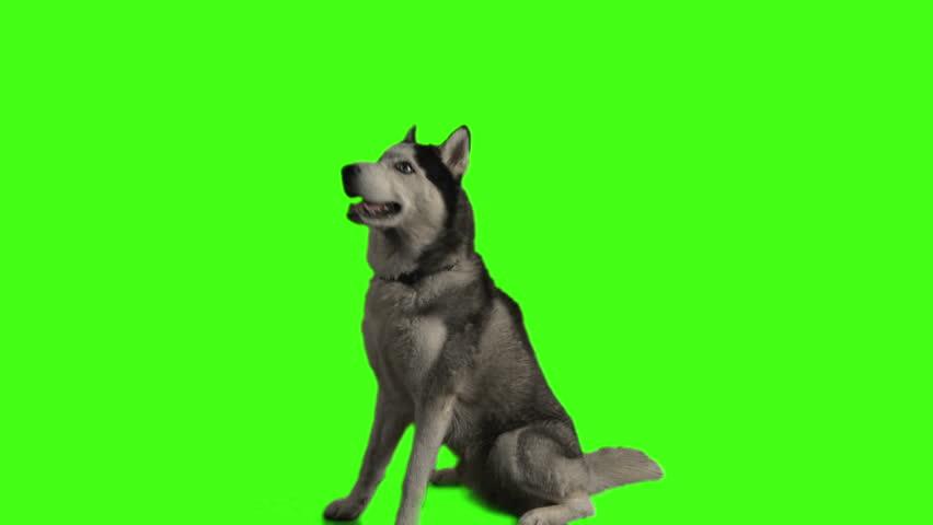 Husky dog on green screen | Shutterstock HD Video #3917018