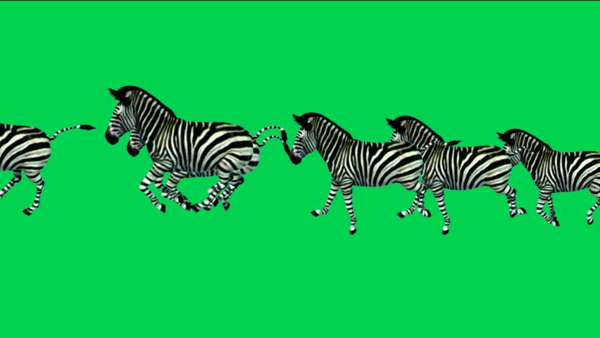 A group of zebra running with green screen. | Shutterstock HD Video #4034236