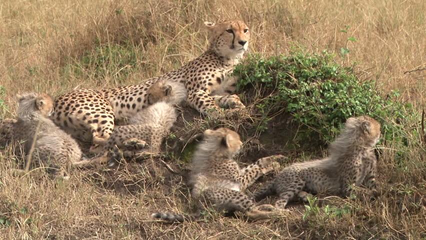 cheetah and babies.