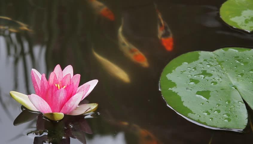 Koi fish stock footage video 1553107 shutterstock for Koi fish pond hd