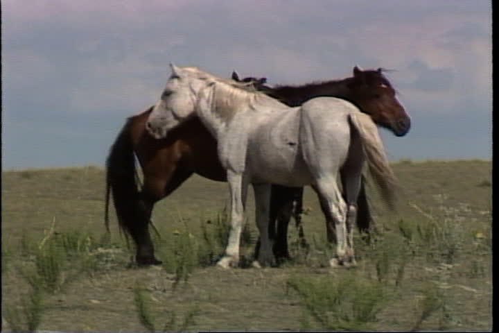 Two wild horses standing calmly on plains, two more walk past.   Shutterstock HD Video #4155604