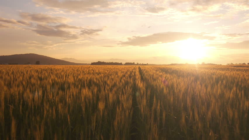AERIAL: Flight over the wheat field in sunset...