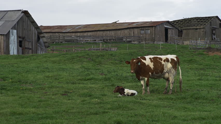 A pastoral scene in Sonoma County, California of mother cow and calf
