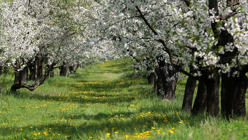 Rich Green Nature, Blossom Orchard And Green Grass Stock Footage ...