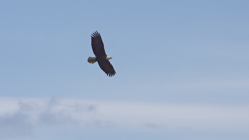 A lone male bald eagle soars above in a bright blue cloudy sky