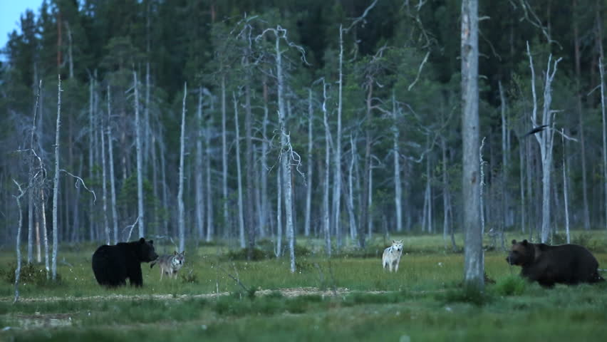 Very rare footage. Two wolves and two bears interact in the forest during late