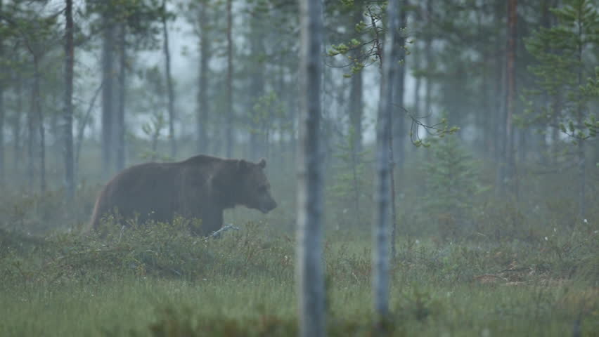 Brown Bear in forest at night waling in search for food