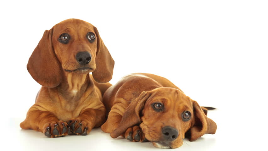 Dachshund puppies. One puppy is calm. The second puppy shakes his head. White
