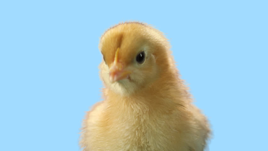 Cute baby chick stands alone with a blue background. Close up shot with green screen alpha channel and mask