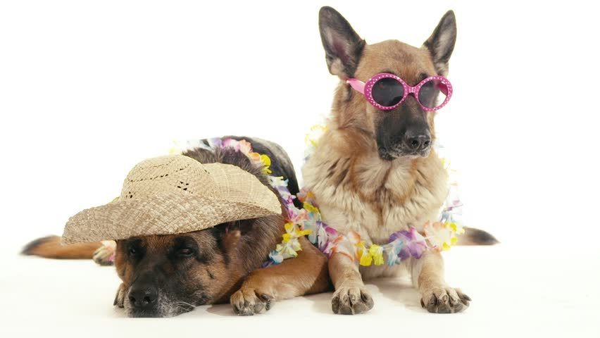 Pet, animal and behavior, two funny purebred alsatian dogs with hat and sunglasses. Studio shot, white background. Part 7 of 14   Shutterstock HD Video #4571015