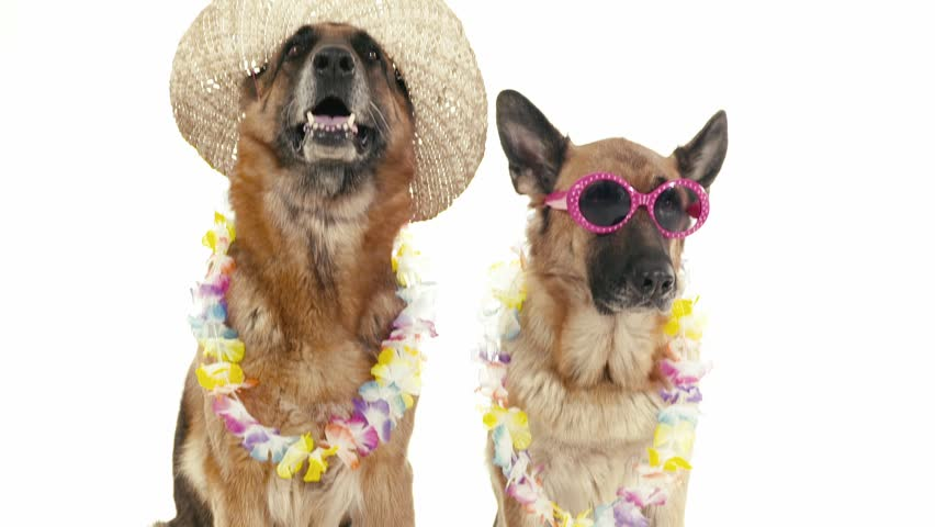 Pets, animals and behavior, two funny purebred german shepherd dogs with hat and sunglasses. Studio shot, white background. Part 10 of 14   Shutterstock HD Video #4576853
