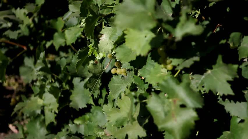 Ripe grapes hanging on the bush   Shutterstock HD Video #4615964