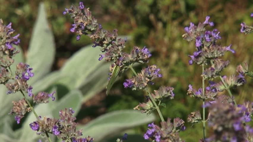 Header of lilac sage