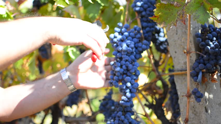 HD: Picking Grape - Stock Video dolly shoot.HD1080i: Picking grape in the
