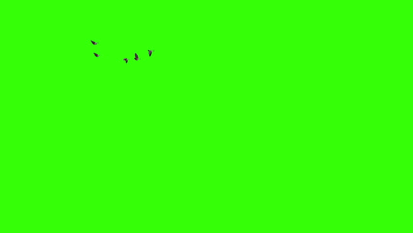 Flock of birds flying. Pack of three. Going away from camera. Coming towards camera and from side to side.