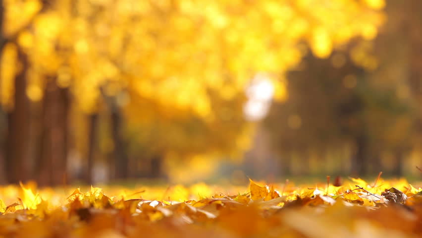 Animated autumn leaves falling motion background storyblocks video.