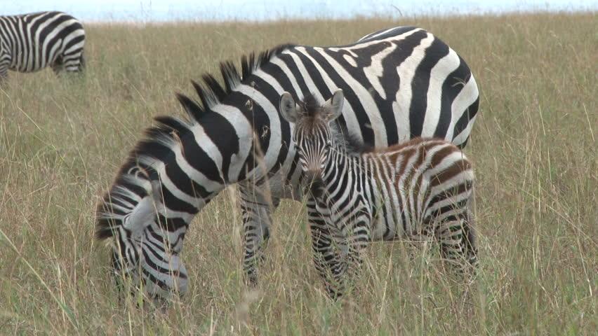 Zebra with a baby 2  | Shutterstock HD Video #4919546