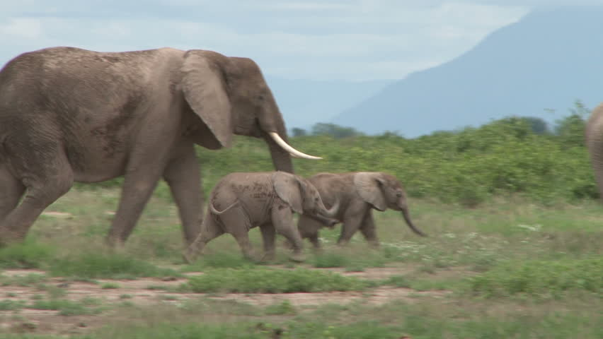 elephants mother helping her baby and pushing away another.