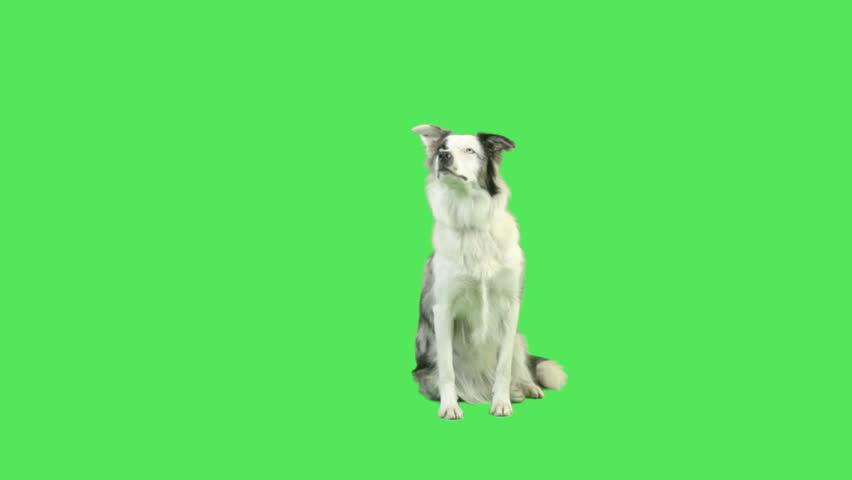 Cute Talking dog in green screen studio