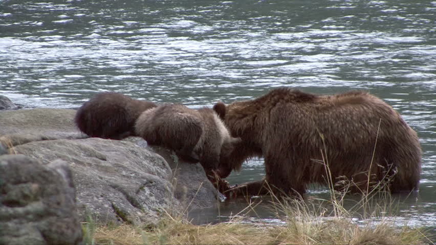 Brown bear cubs on rock watch mother eat salmon