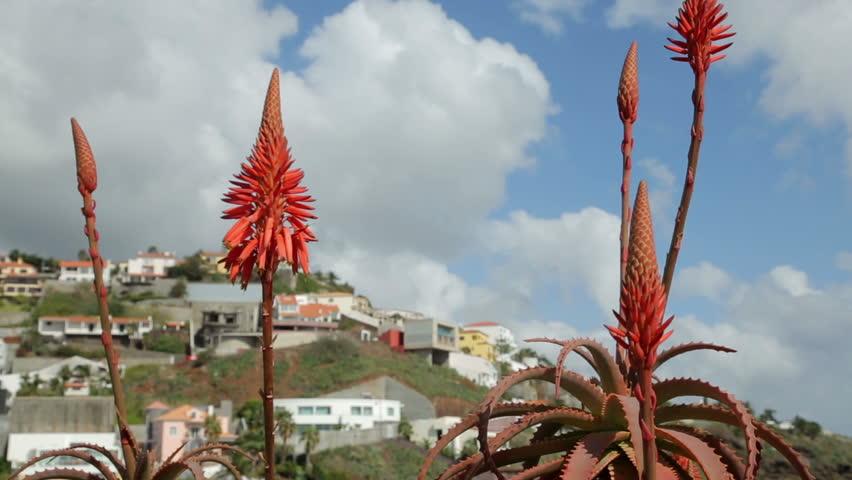 Header of Aloe barbadensis
