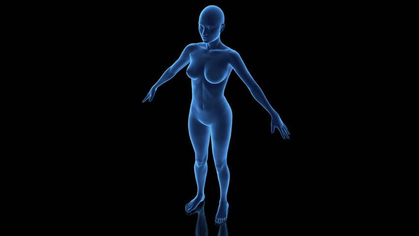 3D female anatomy model in loop rotation