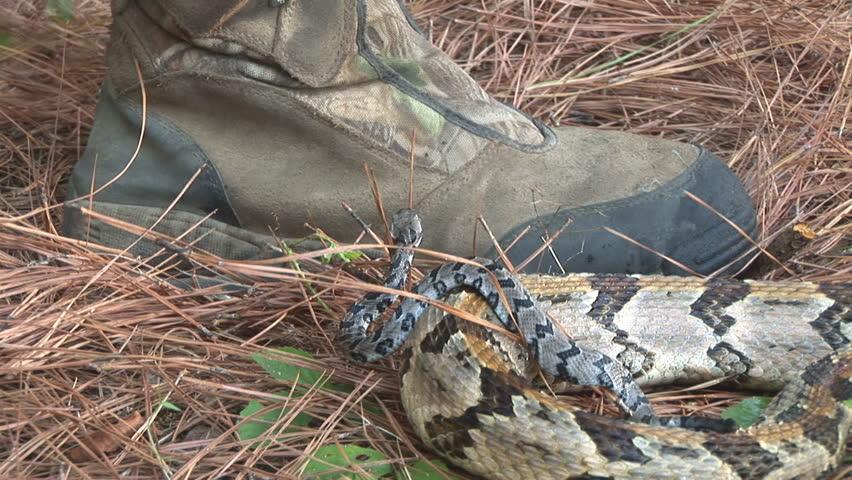 Rattlesnake Stock Footage Video - Shutterstock