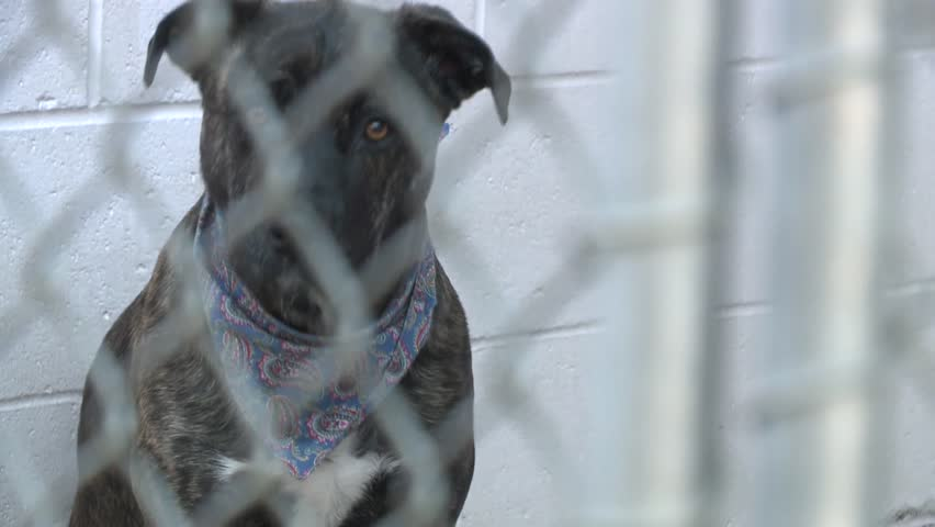 Sad Pit bull puppy dog eyes nervous in shelter behind fence depressed wanting to be rescued and adopted to new home stock video clip 1080 1920x1080 HD