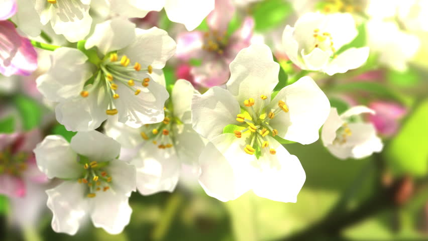 4k blossoming apple-tree, beautiful 3d animation. see also the new corrected version with butterflies ClipID 9191579 | Shutterstock HD Video #5636978