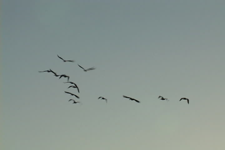Flock of pelicans fly in formation into the setting sun. | Shutterstock HD Video #567802
