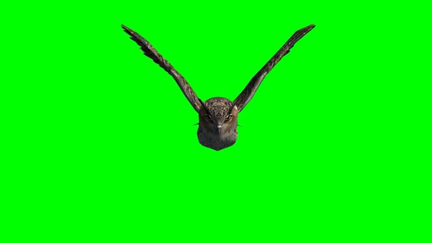 owl in glide flight -  green screen