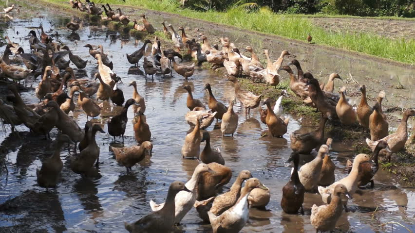 rice duck farming feasibility study Starting a rice dealership nfa rice dealership faq rice dealer business a feasibility study organic farming is the way to go for.