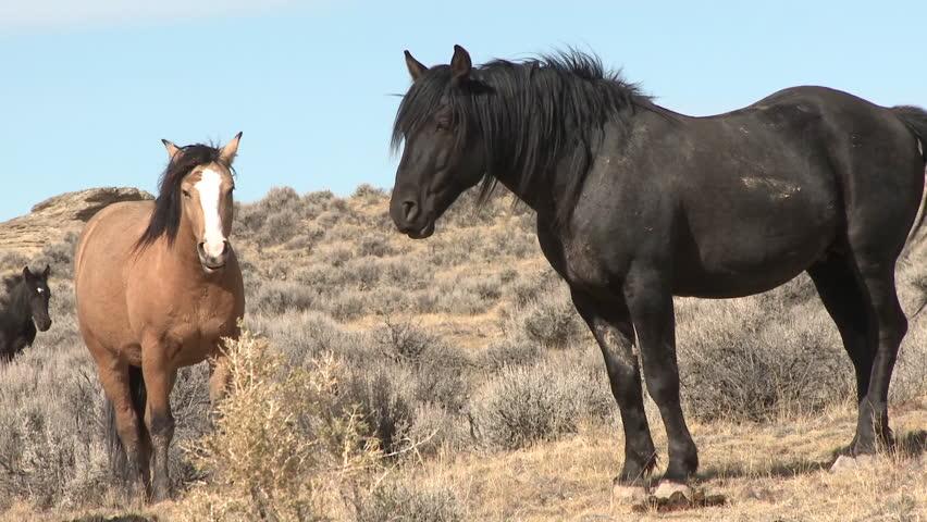 Horse Adult Pair Summer Feral Wild Free Ranging Black Brown Tan   Shutterstock HD Video #6496376