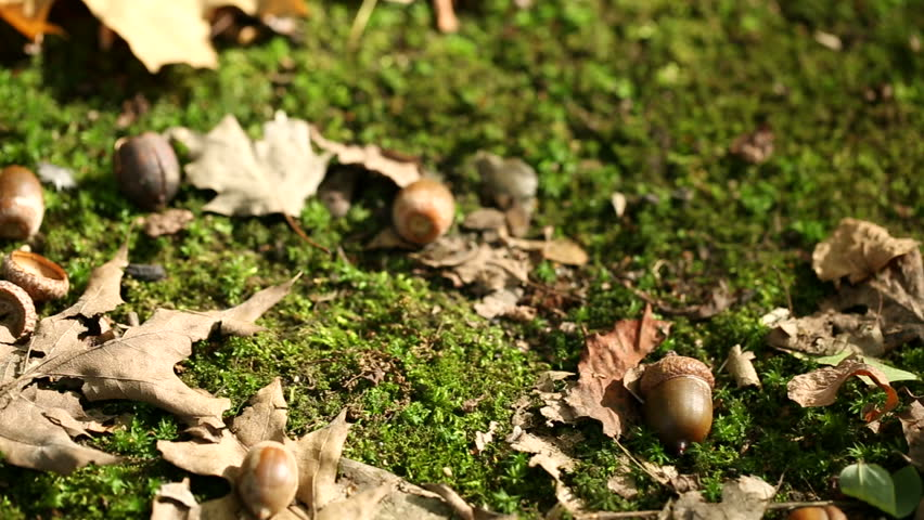 autumn leaves and acorns on the ground (dolly shot)