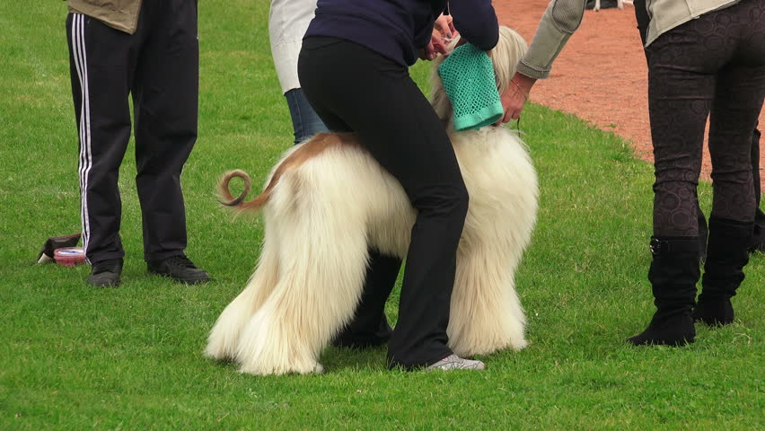 Header of Afghan hound